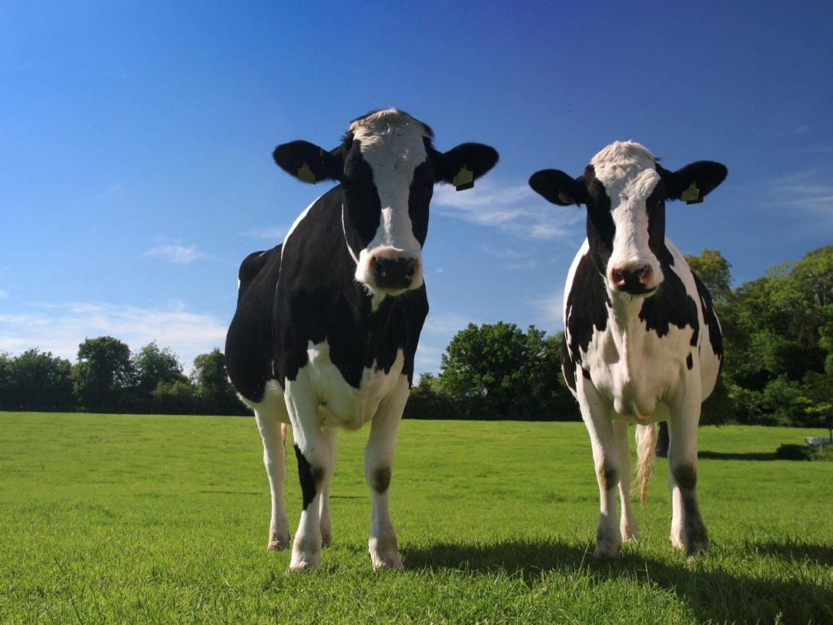 Επιδότηση από το Υπομέτρο 14.1.1: Καλή μεταχείριση των ζώων στα Βοοειδή