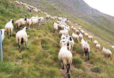 Μπόνους 20% στα σχέδια ορεινών κτηνοτρόφων!