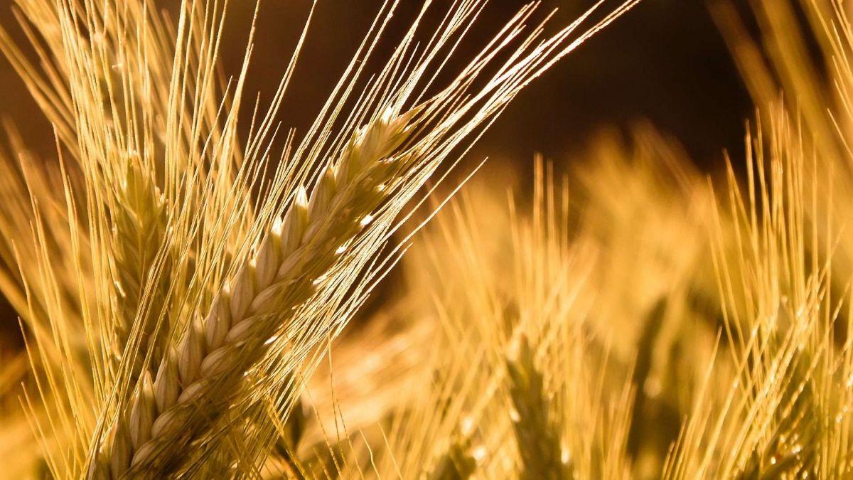 Πόσα κιλά/στρ. είναι η ελάχιστη ποσότητα πιστοποιημένου σπόρου για τη συνδεδεμένη στο σιτάρι και στα κτηνοτροφικά ψυχανθή;